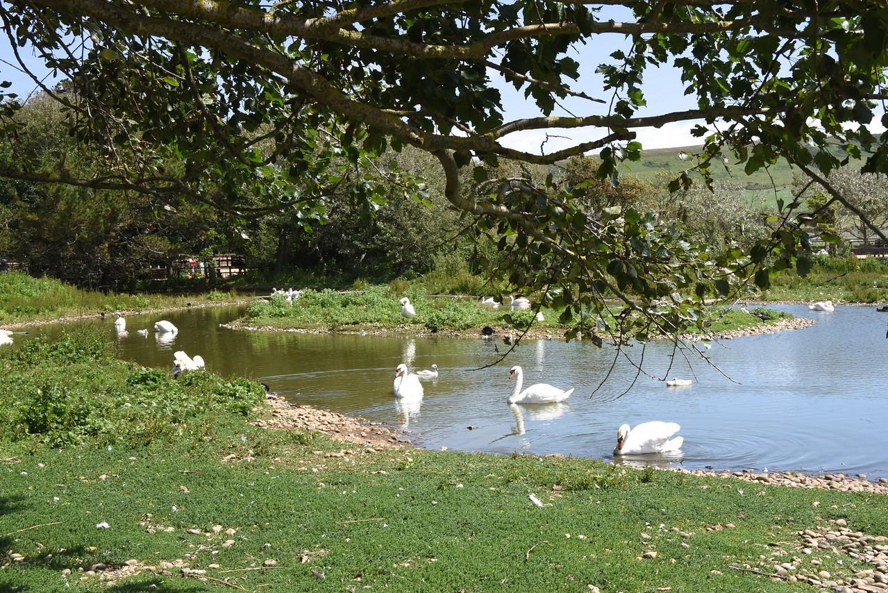 None Breeding Swans