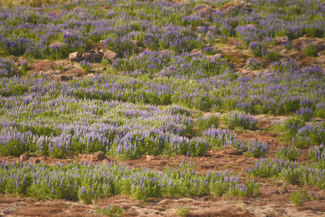 Lupins Were Planted to Help With Soil Erosion  They Can Be Seen Everywhere  (From Bus)