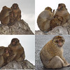 Gibraltar - Legend has it that if these Barbary Apes ever disappear from the island, Gibraltar will revert back to Spain. Considering how many of them were freely roaming around, I think Gibraltar will continue to be British for a while yet.