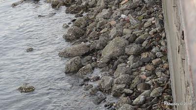 Spot the Sandpiper Muttrah Muscat PDM 20-03-2016 17-03-50