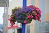 Hanging Basket Finnsnes 28-07-2016 11-18-58