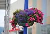 Hanging Basket Finnsnes 28-07-2016 11-19-00