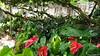 Anthurium Private Garden nr Saint-André Reunion 12-12-2017 10-55-27