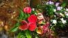 Anthurium Private Garden nr Saint-André Reunion 12-12-2017 10-57-38
