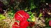 Anthurium Private Garden nr Saint-André Reunion 12-12-2017 10-57-47