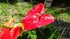 Anthurium Private Garden nr Saint-André Reunion 12-12-2017 10-53-08