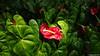 Anthurium Private Garden nr Saint-André Reunion 12-12-2017 10-45-53