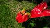 Anthurium Private Garden nr Saint-André Reunion 12-12-2017 10-53-10