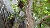 Common Brown or Mayotte Lemurs Plage N'Gouja Kani Keli Mayotte 09-12-2017 11-05-18c