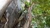 Common Brown or Mayotte Lemurs Plage N'Gouja Kani Keli Mayotte 09-12-2017 11-07-04
