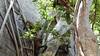 Common Brown or Mayotte Lemurs Plage N'Gouja Kani Keli Mayotte 09-12-2017 11-06-51c