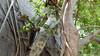 Common Brown or Mayotte Lemurs Plage N'Gouja Kani Keli Mayotte 09-12-2017 11-06-49
