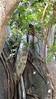 Common Brown or Mayotte Lemurs Plage N'Gouja Kani Keli Mayotte 09-12-2017 11-04-35