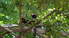 Common Brown or Mayotte Lemurs Plage N'Gouja Kani Keli Mayotte 09-12-2017 11-05-06