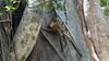 Common Brown or Mayotte Lemurs Plage N'Gouja Kani Keli Mayotte 09-12-2017 11-07-29