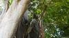 Common Brown or Mayotte Lemurs Plage N'Gouja Kani Keli Mayotte 09-12-2017 11-07-20