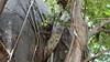 Common Brown or Mayotte Lemurs Plage N'Gouja Kani Keli Mayotte 09-12-2017 11-05-19