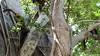 Common Brown or Mayotte Lemurs Plage N'Gouja Kani Keli Mayotte 09-12-2017 11-05-15c