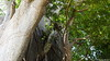 Common Brown or Mayotte Lemurs Plage N'Gouja Kani Keli Mayotte 09-12-2017 11-07-18
