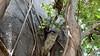 Common Brown or Mayotte Lemurs Plage N'Gouja Kani Keli Mayotte 09-12-2017 11-05-17