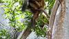 Common Brown or Mayotte Lemurs Plage N'Gouja Kani Keli Mayotte 09-12-2017 11-05-12