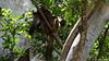 Common Brown or Mayotte Lemurs Plage N'Gouja Kani Keli Mayotte 09-12-2017 11-07-00
