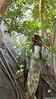 Common Brown or Mayotte Lemurs Plage N'Gouja Kani Keli Mayotte 09-12-2017 11-04-48