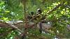 Common Brown or Mayotte Lemurs Plage N'Gouja Kani Keli Mayotte 09-12-2017 11-05-07
