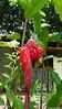 False Pineapple Rose porcelaine Private Garden nr Saint-André Reunion 12-12-2017 11-03-20