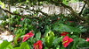 Anthurium Private Garden nr Saint-André Reunion 12-12-2017 10-55-27