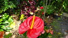 Anthurium Private Garden nr Saint-André Reunion 12-12-2017 10-57-46