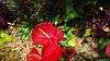 Anthurium Private Garden nr Saint-André Reunion 12-12-2017 10-57-47