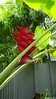 Heliconia Private Garden nr Saint-André Reunion 12-12-2017 11-04-00
