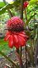 False Pineapple Rose porcelaine Private Garden nr Saint-André Reunion 12-12-2017 11-03-35