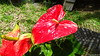 Anthurium Private Garden nr Saint-André Reunion 12-12-2017 10-53-08