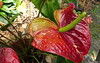 Anthurium Private Garden nr Saint-André Reunion 12-12-2017 10-57-45