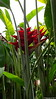 Heliconia Private Garden nr Saint-André Reunion 12-12-2017 11-04-04