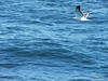 Seagull from BARFLEUR English Channel PDM 14-07-2014 10-33-034