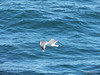 Seagull from BARFLEUR English Channel PDM 14-07-2014 10-33-09
