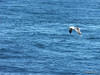 Seagull from BARFLEUR English Channel PDM 14-07-2014 10-33-43