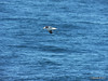 Seagull from BARFLEUR English Channel PDM 14-07-2014 10-33-51