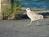 Juvenile Great black-backed gull St Malo PDM 11-08-2014 07-57-32