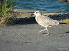 Juvenile Great black-backed gull St Malo PDM 11-08-2014 07-57-033