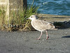 Juvenile Great black-backed gull St Malo PDM 11-08-2014 07-57-034