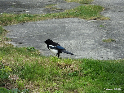 Magpie Pendennis Head PDM 22-04-2014 08-13-04