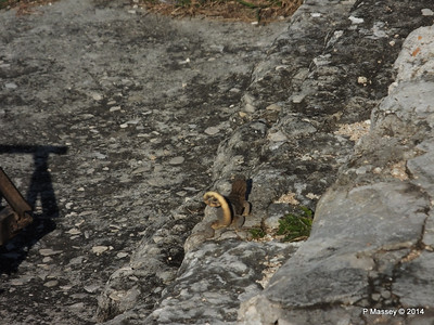 Iguana on the Ramparts 01-02-2014 09-17-54
