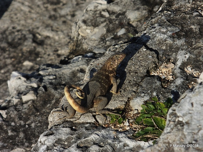 Iguana on the Ramparts 01-02-2014 09-18-11