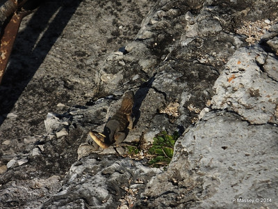 Iguana on the Ramparts 01-02-2014 09-18-24