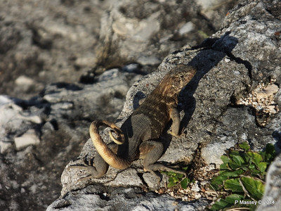 Iguana on the Ramparts 01-02-2014 09-18-09