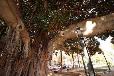 Huge Rubber Tree Supported Parque de Canalejas Alicante 26-11-2015 11-52-58